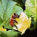 Honeybee And Cantalope by Joyce Dickens