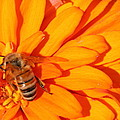 Honeybee On An Orange Zinnia by Laurel Talabere