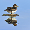 Hooded Merganser Reflection by Tony Beck