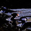 Hooded Mergansers And Moon Glare by Travis Truelove