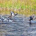 Hooded Mergansers Take Flight by Lynda Dawson-Youngclaus