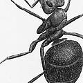 Hooke: Ant, 1665 by Granger