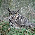Horned Owl by Randy J Heath