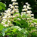 Horse Chestnut Blossoms by Will Borden