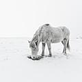 Horse Grazing In Snow by Ingólfur Bjargmundsson