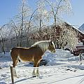Horse On Maine Farm After Snow And Ice Storm by Keith Webber Jr