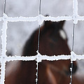 Horse Viewed Through Frost Covered Wire Fence by Mark Duffy