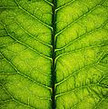 Horseradish Leaf by Steve Gadomski