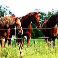 Horses  by Lisa Stanley