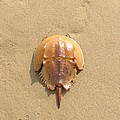 Horseshoe Crab In The Sand Campground Beach Cape Cod Eastham Ma by Sven Migot