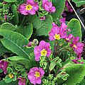 'hose-in-hose' Primroses by Adrian Thomas