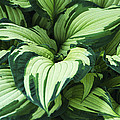 Hosta Albo-picta Foliage by Archie Young