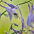 Hosta Blossom-bee-ant by Mary McAvoy