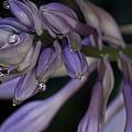 Hosta Blossoms With Dew Drops 6 by Douglas Barnett