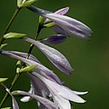 Hosta Flowers by Living Color Photography Lorraine Lynch