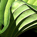 Hosta Leaf by Francesa Miller