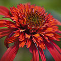 Hot Papaya Hybrid Coneflower by Teresa Mucha
