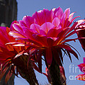 Hot Pink Cactus Flowers by Jim And Emily Bush
