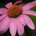 Hot Pink Coneflower by Teresa Mucha