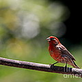 House Finch Bird . 40d7605 by Wingsdomain Art and Photography