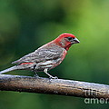 House Finch Bird . 40d8331 by Wingsdomain Art and Photography
