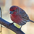 Housefinch IIi by Debbie Portwood