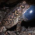 Houston Toad by Dante Fenolio