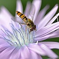 Hoverfly On Flower by Marian Heddesheimer