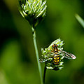 Hoverfly On Grass by Lori Coleman