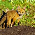 How Many Red Fox Cubs by Bill Dodsworth