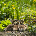 Huddled Goslings Baby Geese Along River's Edge by Stephanie McDowell