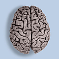 Human Brain by Omikron