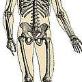 Human Skeleton by Science Source