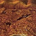 Human Skin, Light Micrograph by Robert Markus
