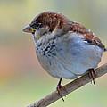 Humble Housesparrow by Debbie Portwood