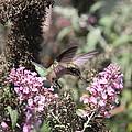 Hummingbird - Ruby-throated Hummingbird - Chopper by Travis Truelove