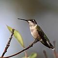 Hummingbird - Ruby-throated Hummingbird - Near The End by Travis Truelove