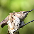 Hummingbird - Ruby-throated Hummingbird - Stretch Time by Travis Truelove
