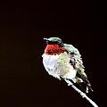 Hummingbird - Ruffled Feathers by Travis Truelove
