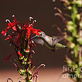 Hummingbird And Cardinal Flowers by Robert E Alter Reflections of Infinity