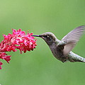 Hummingbird And Currant by Angie Vogel