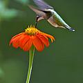 Hummingbird And Mexican Sunflower by Eva Jo Wu