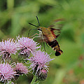 Hummingbird Clearwing Moth by Doris Potter