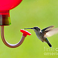 Hummingbird Drinking by Stephen Whalen