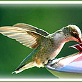 Hummingbird Eating by Katie OKeefe