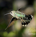 Hummingbird Fly By by Carol Groenen
