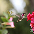Hummingbird In Bougainvillea by Ruby Hummersmith