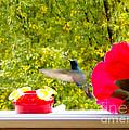Hummingbird In Cuenca Ecuador Vii by Al Bourassa