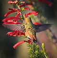 Hummingbird In Flight 1 by Xueling Zou