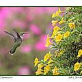 Hummingbird by Jack Schultz